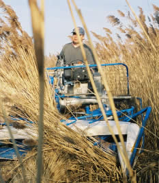 Cutting the Reeds with a machine