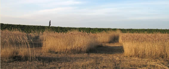 A reed bed showing the patchwork effect of cutting different areas